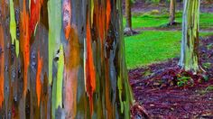 The bark of Eucalyptus Deglupta changes color with time  Also known as the Rainbow Eucalyptus it sheds patches of bark during the year giving the tree this colourful appearance.  #images #plants #colours #eucalypus #rainbow