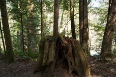 Tree growing out of tree stump near Campbell River, British Columbia Tree Stump, Grow Out, Growing Tree, Vancouver Island, British Columbia, River, Heart, Plants, Wood Stumps