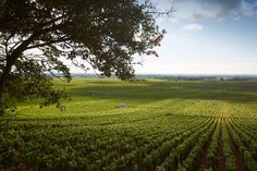 Domaine Drouhin-Laroze Tours, World Famous, Tour Guide, Wine Tasting, Vineyard, Outdoor, Vine Yard, Outdoors, Vineyard Vines