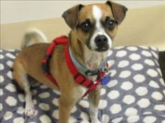 Meet Fergus, a Petfinder adoptable Chihuahua Dog   Portland, OR   My name is Fergus and I love treats and to learn new behaviors. I would like to take a training...