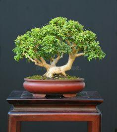 Image of tree, broadleaved - 1684911 Dwarf Boxwood, Boxwood Bonsai, Korean Boxwood, Japanese Boxwood, Bonsai Art, Bonsai Plants, Bonsai Trees, Green Velvet Boxwood, American Boxwood
