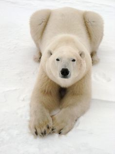Playful Polar Bear Photo Mug Hot Cocoa Gift Basket Animals Images, Zoo Animals, Animals And Pets, Funny Animals, Cute Animals, Strange Animals, Bear Photos, Bear Pictures, Animal Pictures