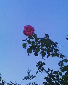 🌹 . . . . . . . . #rose #rosa #flower #flowerpic #flores #flowers #flor #dia #day #instapic #foto #photo #photography #fotografia #pic… Insta Pic, Rose, Day, Flowers, Plants, Photography, Instagram, Fotografia, Pictures
