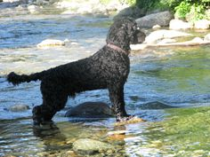 The best dog I've ever owned! Meet Buck, my Portuguese Water Dog.