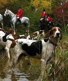 I love dogs and horses! A hunt like this is amazing for dogs to find their inner hunting spirit! If have been to a couple of hunting events myself but then the animal friendly ones where a blanket with a foxxes sent is drawn trough the landscape! Horses And Dogs, All Dogs, Nice Dogs, Zebras, American Foxhound, Shetland, Hunt Club, Fox Hunting, The Fox And The Hound