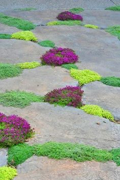 """Wooly thyme, creeping thyme, """"little prince"""" thyme, and elfin thyme"""