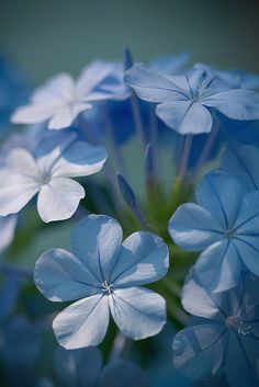 plumbago -- by aussiegall I had about 6 bushes of this in my yard. Loved them when flowering!