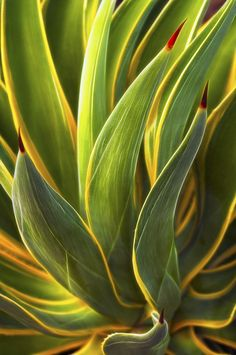 ~~Agave desmettiana by Lee Sie~~