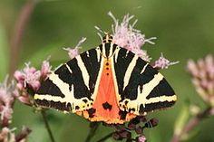 Lepidoptera — Wikipédia
