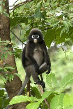 Romantic Beach Getaways: The Andaman, Langkawi in Malaysia Rainforest Animals, Zoo Animals, Cute Animals, Family Resorts, Family Destinations, Romantic Beach Getaways, Monkey Business, Destin Beach, Primates