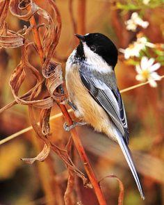'Early bird gets the worm' by viSHal  #chickadee #bird