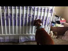 Sweet Boxer responds to newborn baby's cries (VIDEO) » DogHeirs | Where Dogs Are Family « Keywords: Boxer, Baby