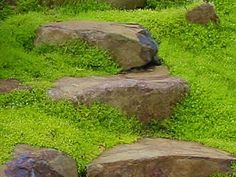 Scotch Moss - Sagina subulata 'Aurea'