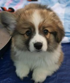 All About Small Corgis Dgas Super Cute Animals, Cute Baby Animals, Animals And Pets, Funny Animals, Corgi Funny, Corgi Dog, Mini Corgi, Baby Corgi, Cute Puppies