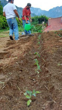 Si mettono in coltivazione le #piantine di #pomodoro Re Umberto #CostieraAmalfitana