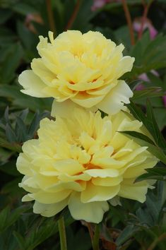 Peonies are generally quite cold-hardy, and the 'Singing in the Rain' Itoh peony is no exception, being hardy to zone 3. Learn more about peonies at https://www.thespruce.com/peony-plants-perennials-2132560