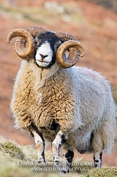 I am fearfully and wonderfully made. Majestic Animals, Rare Animals, Animals And Pets, Wild Animals Pictures, Funny Animal Pictures, Beautiful Creatures, Animals Beautiful, Sheep Breeds, Sheep Art