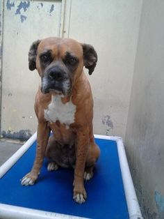 Time is up for depressed boxer at animal control  Needed commitment today>> Sally Ann needs commitment by 3/7!!! she has been there since 1/21 her time is UP!! She will be killed...  You can visit me at my temporary home at D212. ID: A4670144 SHE NEEDS COMMITMENT BY FRI 3/7 !!