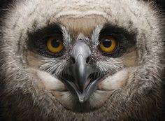 Eagle Owl Chick - Tom Björklund
