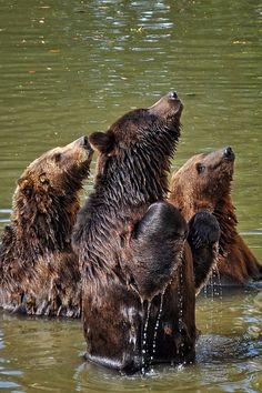 Beggin' bears by Sorin Petculescu Animals And Pets, Baby Animals, Cute Animals, Animal Babies, Wild Animals, Bear Pictures, Cute Animal Pictures, Beautiful Creatures, Animals Beautiful