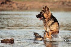 German Shepherd | via Tumblr on We Heart It