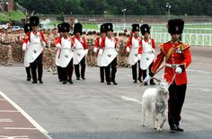 """""""Billy"""" The Regimental Goat of The 1st Battalion, The Royal Welsh (The Royal Welch Fusiliers) leads the Battalion (including the Regimental Pioneers in their white leather aprons, off parade in front of Her Majesty The Queen, The Colonel-in-Chief of The Royal Welsh. The occation was the home coming and medals parade for the 1st Battalion on return from the tour of Helmand Province, Afghanistan in 2009/10."""