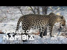 In this Episode we pass through the Namib-Naukluft Mountains and National Park, Walvis Bay Area, Etosha National Park and the Kavango/Zambezi Regions (the Ca. Zebras, Vida Animal, Camping, Panther, National Parks, Big, Animals, Youtube, List Of Animals