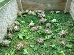 I have seen numerous suggestions for Russian tortoise diet Some great Some awful. Russian Tortoises are nibblers and appreciate broad leaf plants. Cute Tortoise, Tortoise Care, Giant Tortoise, Tortoise Turtle, Outdoor Tortoise Enclosure, Sulcata Tortoise, Russian Tortoise, Pear Blossom, Super Cute Animals