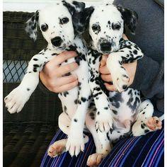 Two Dalmatian Pups - Nico and Nala