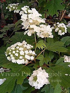 Hydrangea quercifolia 'Quercifolia' Vivaio Paoli Borgioli