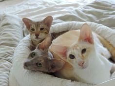 Sind hier auch Orientalisch Kurzhaar / OKH´s? - Seite 20 - Katzen Forum