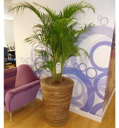 Areca Palm-improves indoor air quality. Good feng shui