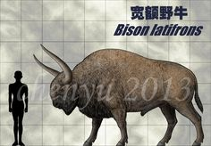 宽额野牛(Bison latifrons) Bison latifrons mainly live in the late pleistocene (about 0.2 Ma).This is a species giant bison,who was the largest species of bison that ever exi...