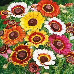 Chyrsanthemum Painted Daisy