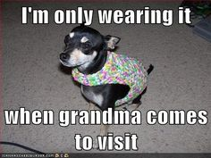 #chihuahua #funny #maxwell