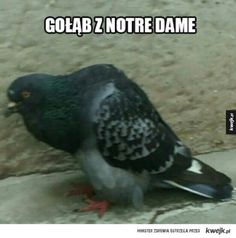 Gołomp - Gołąb z notre dame Polish Memes, Past Tens, Funny Mems, Happy Photos, Everything And Nothing, Sarcastic Humor, Wtf Funny, Pranks, Best Memes