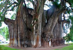 Tree of Tule - Mexico  Having the largest trunk of any tree in the world, the Tree of Tule is slightly larger than the Giant Sequoia. The approximate age is estimated between 1200 to 3000 years old and is located in Santa Maria del Tule, Oaxaca, Mexico.