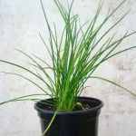 how to grow chives in water
