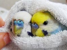 Conceived and compiled by Budgie Research Pretty Birds, Cute Birds, Beautiful Birds, All Birds, Animals Beautiful, Budgie Parakeet, Budgies, Blue Budgie, Cockatiel