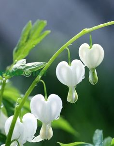 Bleeding Heart >> Dicentra Perfect for an all white garden. Works well in shade, better than the pink variety