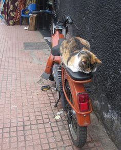 Cat on a motorcycle in Morocco.  I'm ready, but where's my driver?