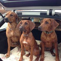 Rhodesians in a car @lempithedog