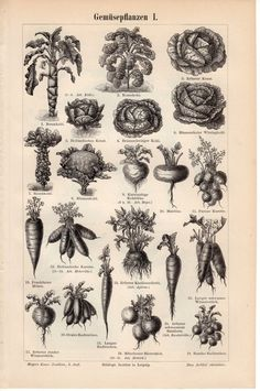 1894 Botanical Print, Vegetables, Roots, Artichoke, Bulb, Tuber, Radish, Carrot, Cauliflower, Brussels Sprout, Beetroot, Kale, Garden, Green