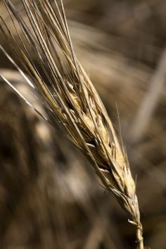 With Effort, the Northeast Is Once Again Becoming a Breadbasket: Amid the modern wheat-related gloom and doom, a small group of true believers have been working diligently to reconfigure our relationship with wheat.