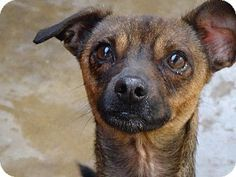 Apple Valley, CA - Terrier (Unknown Type, Medium) Mix. Meet Hambone, a dog for adoption. http://www.adoptapet.com/pet/12197304-apple-valley-california-terrier-unknown-type-medium-mix