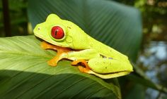 Red-eyed tree frog | by elenainnapeartree
