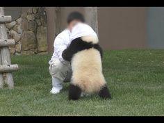 飼育員さんに反応して起きて、抱っこされて帰っていく姿が可愛すぎる結浜♪ Very very cute panda baby Yuihin♪ Return to home... - YouTube