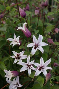 Clematis 'Princess Kate'. New dainty flowered clematis, on quite a big plant. Part shade. June to Sept 1m x 3.5m