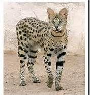 .SAVANNAH CAT