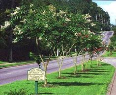 We are the oldest nursery in the US that Exclusively grows Crape Myrtles.  We are the ORIGINAL inventors of the Patented Miniature Crape Myrtle and have specialized in online sales for over 20 years. Dwarf, Tree & Miniatures Available.